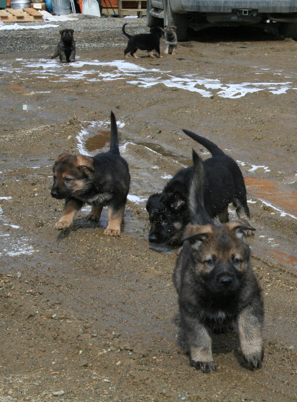 A Litter Puppies from Racke and Drago are all sold.  Abbie (on the left) is now a certified Patrol K9.