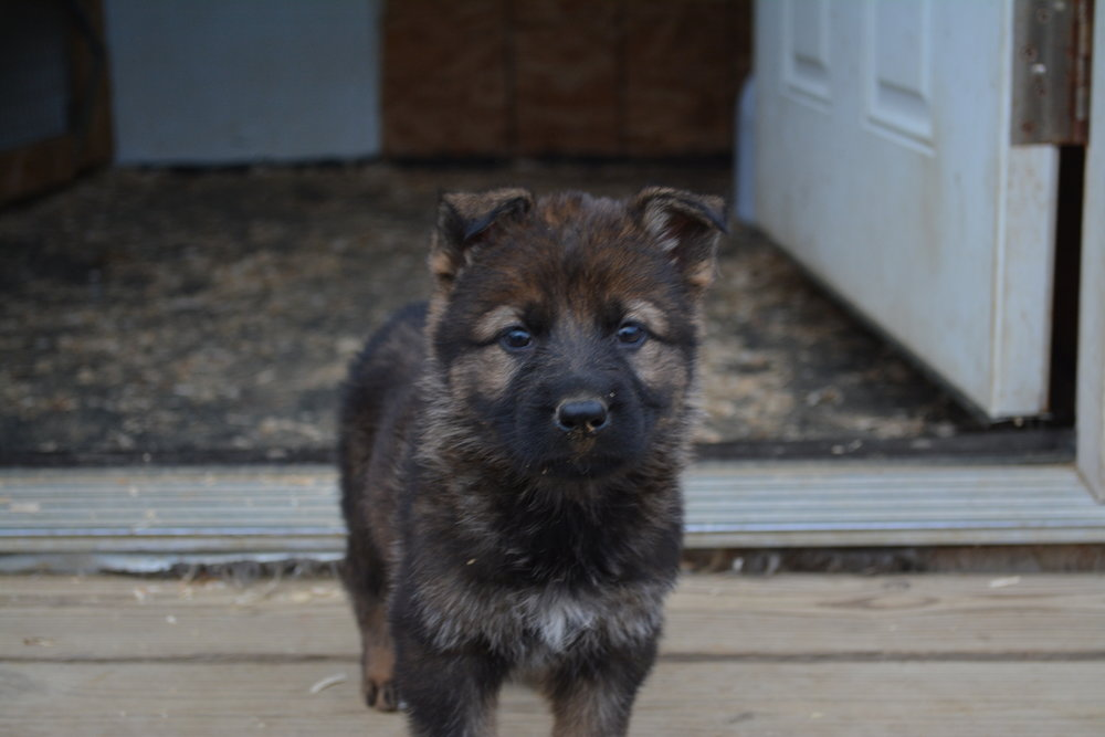 Male puppy at 5 weeks old from Thor & Freyja M- litter.