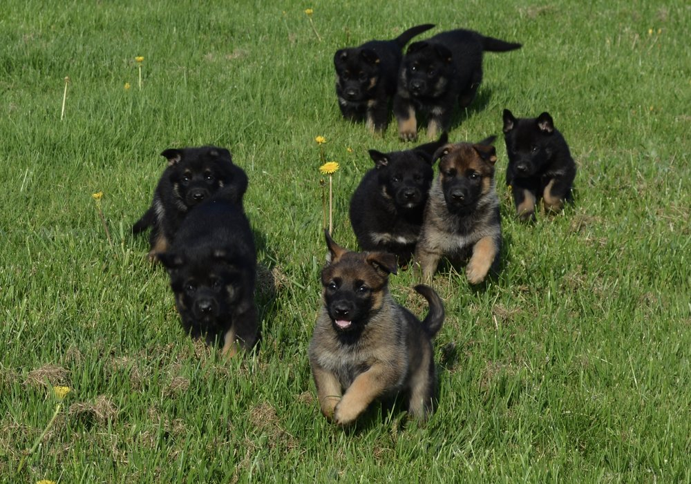 O Litter Puppies from Justice and Twist