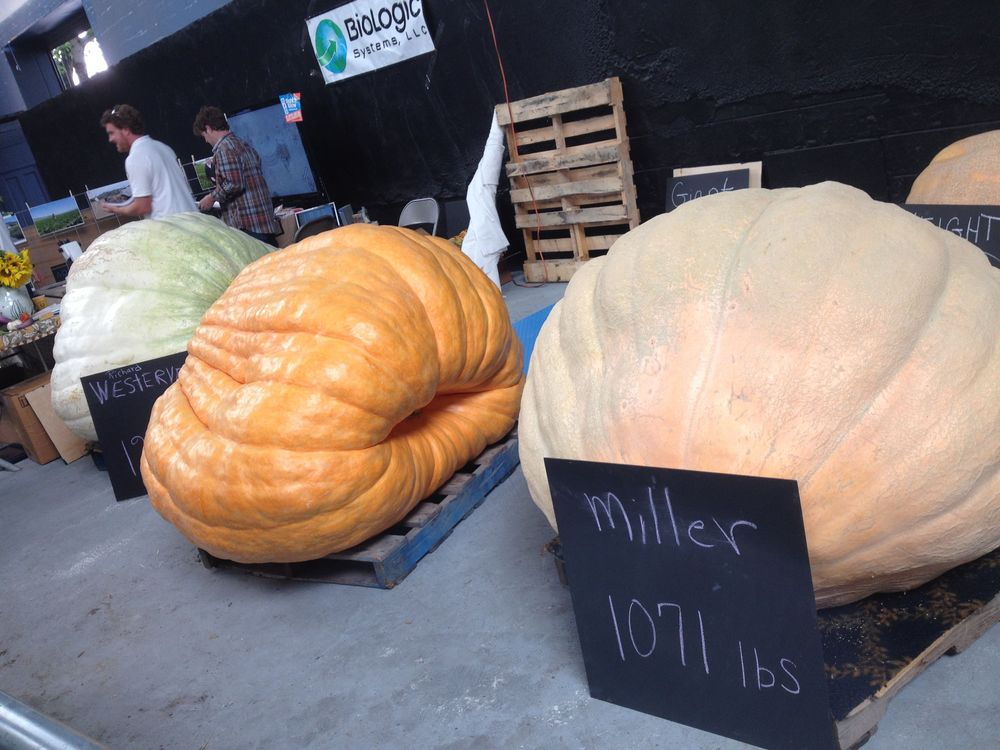 Massive pumpkins!
