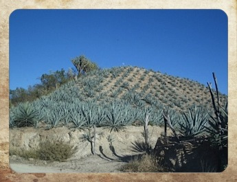 Agave.  The heart of Mexican spirits.
