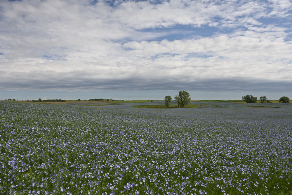 Flaxseed field in McLean County, ND.
