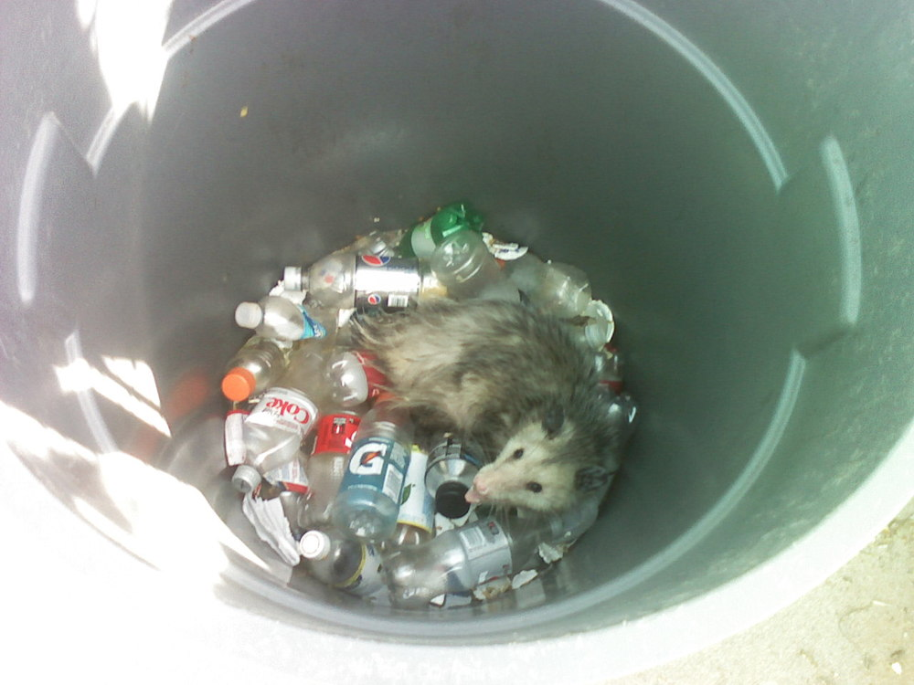 Yes - this is a literal story, not a figure of speech.  There was a possum in the trashcan at the softball field. I was picking up trash and threw some stuff in there when I noticed a fuzzy tail out of the corner of my eye.  When I looked over the edge of the trash can, there he was grinning up at me.