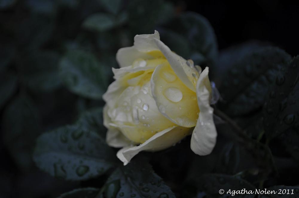 thirsty rose