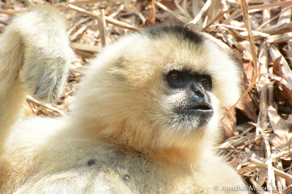 Gibbon, Nashville Zoo, 2014