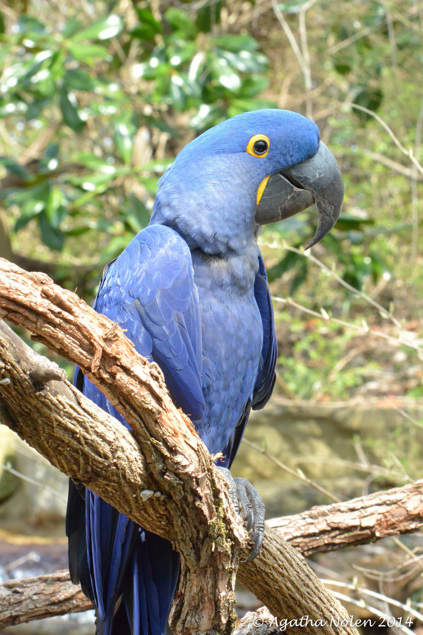 Hyacinth Macaw- Nashville Zoo- March 2014