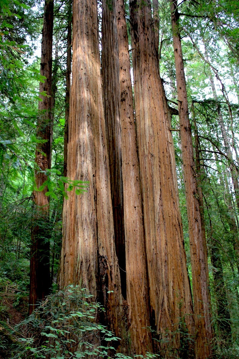 Dappled Redwood, Muir Woods, Chad Curry