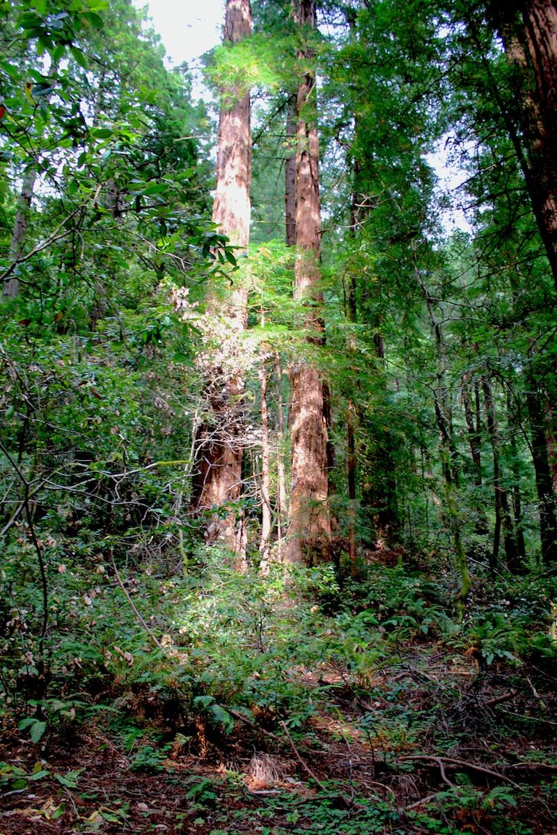 Light-Dappled Redwoods