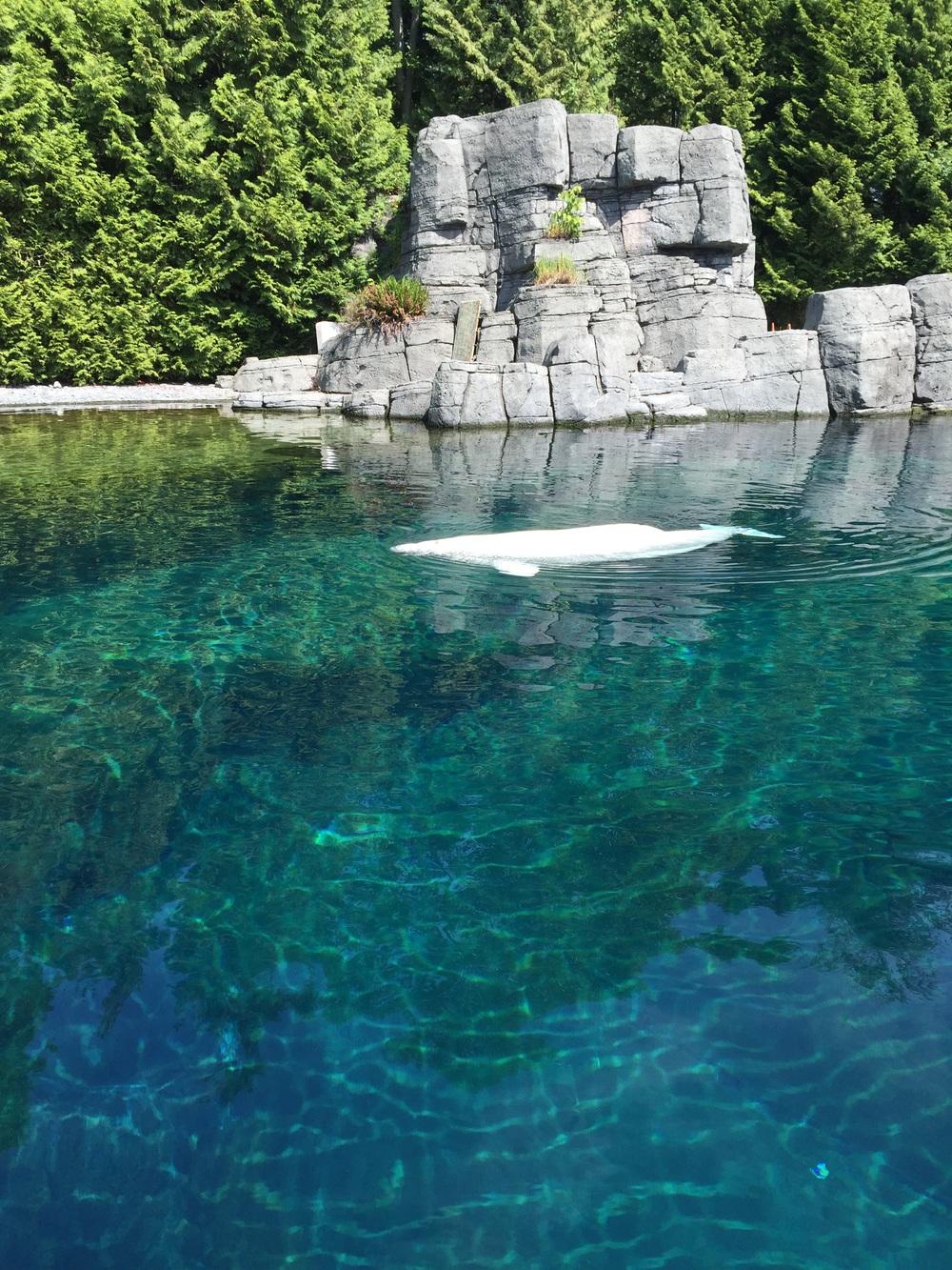 A white whale...