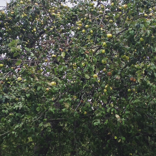 Tolstoy's apples, Yasnaya Polyana, Russia