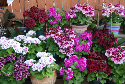 Martha Washington geraniums web.jpg