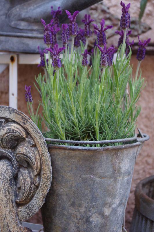 Lavender love providence design - Planter lavande en pot ...