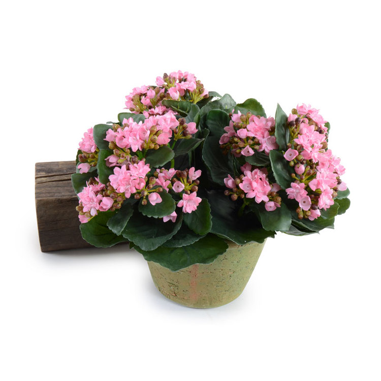Large Potted Kalanchoe Pink - $114