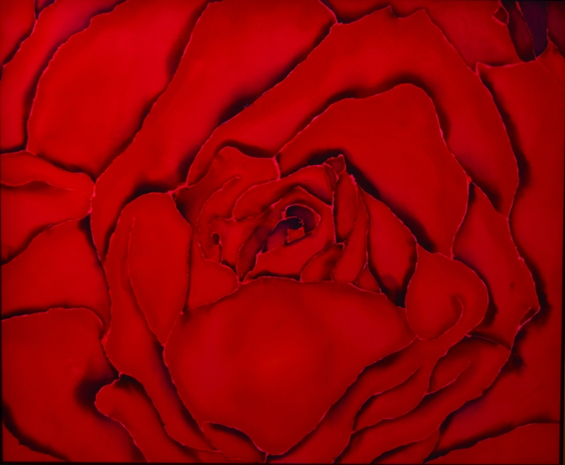 "Red Rose  2011, 29""X24""  $550"