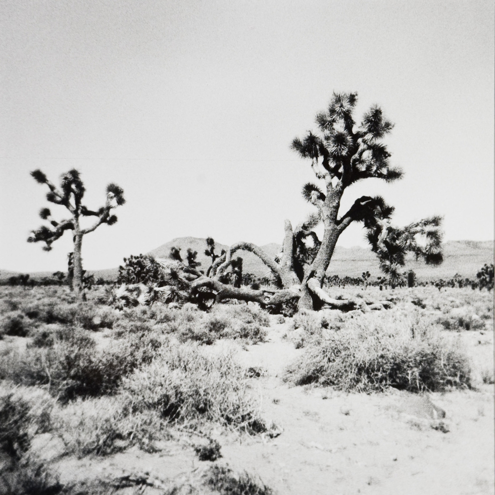 Untitled (Joshua Trees), 2008