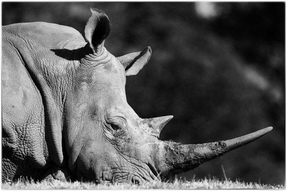 Resting Rhino by Joseph Linaschke