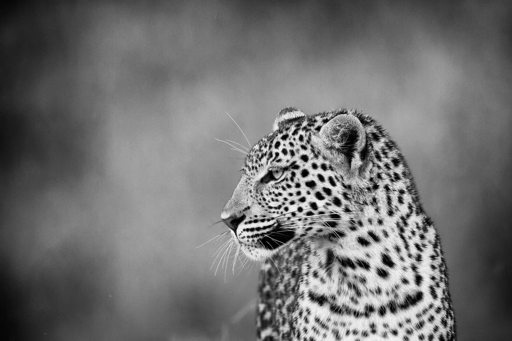 Leopard in Profile - Botswana by Morden O'Hare