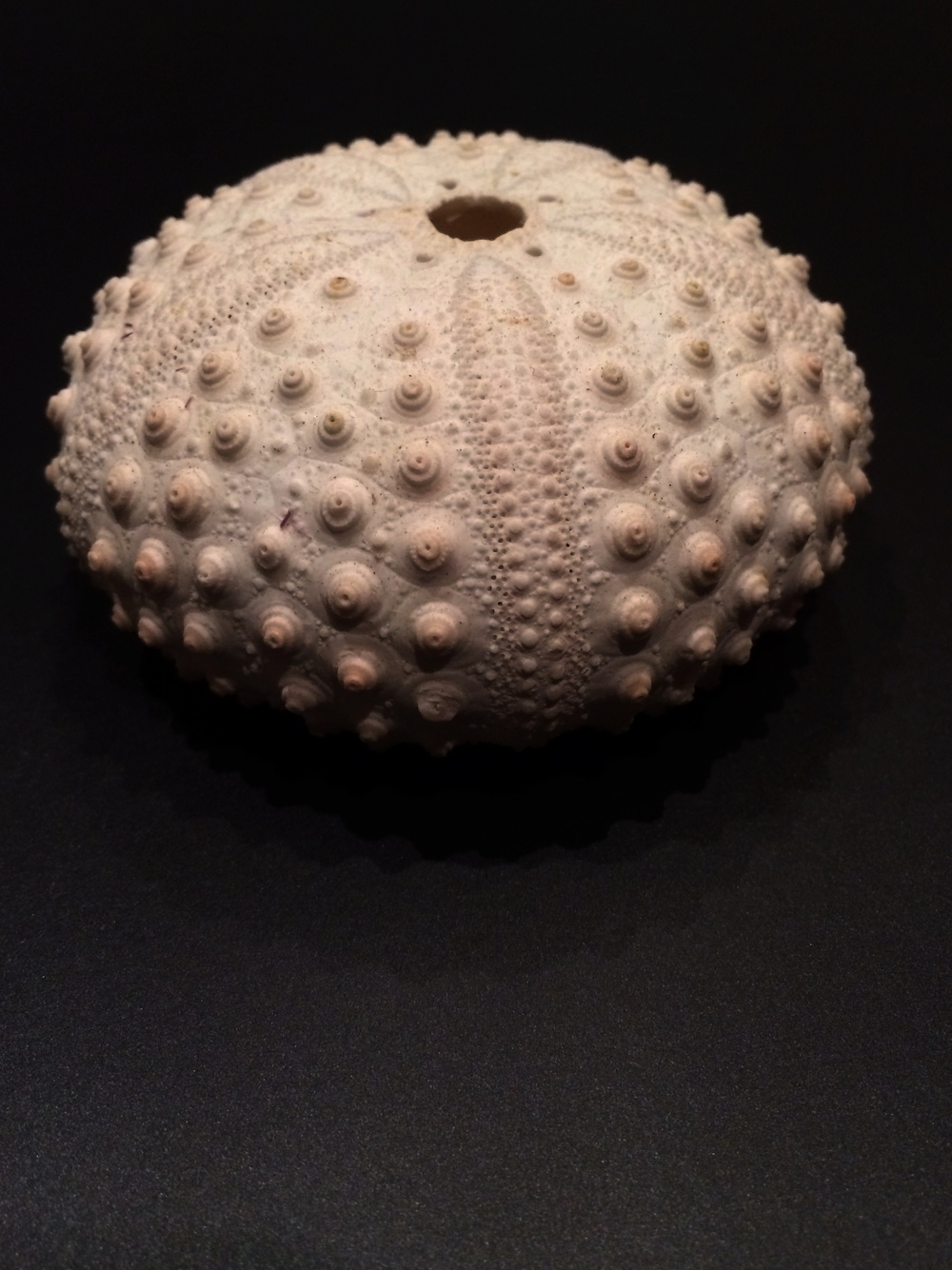 Skeleton of a sea urchin.
