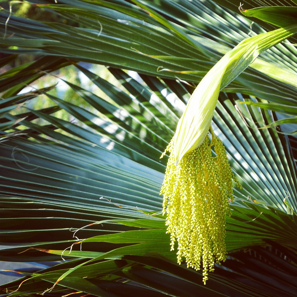 palmseeds.jpg