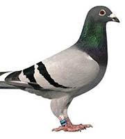 homing_pigeon.jpg