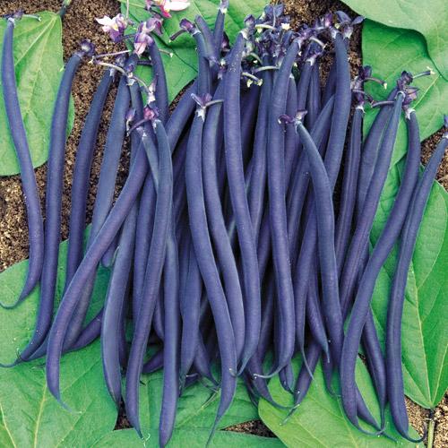 'Velour' bush bean. Image via parkseed.com
