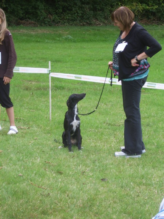 Lovely little Alva, who showed like a veteran, to win her puppy class. It's not love it's the cooked rabbit in my pocket!