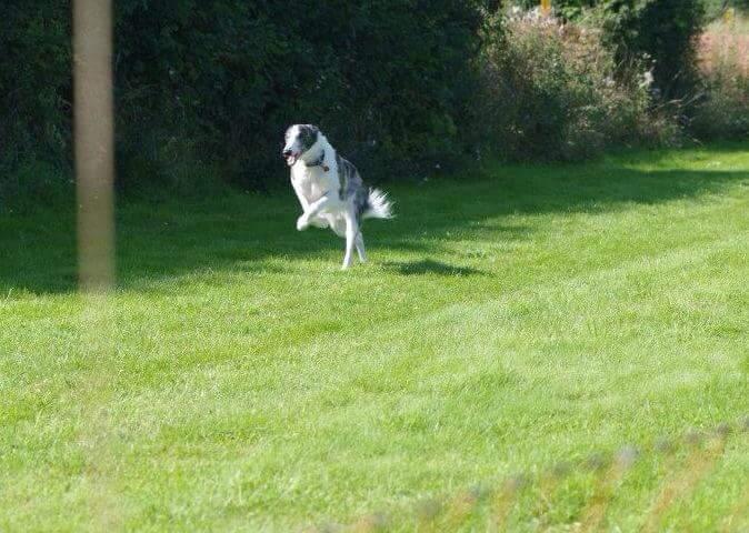 Beaux - Fastest Dog