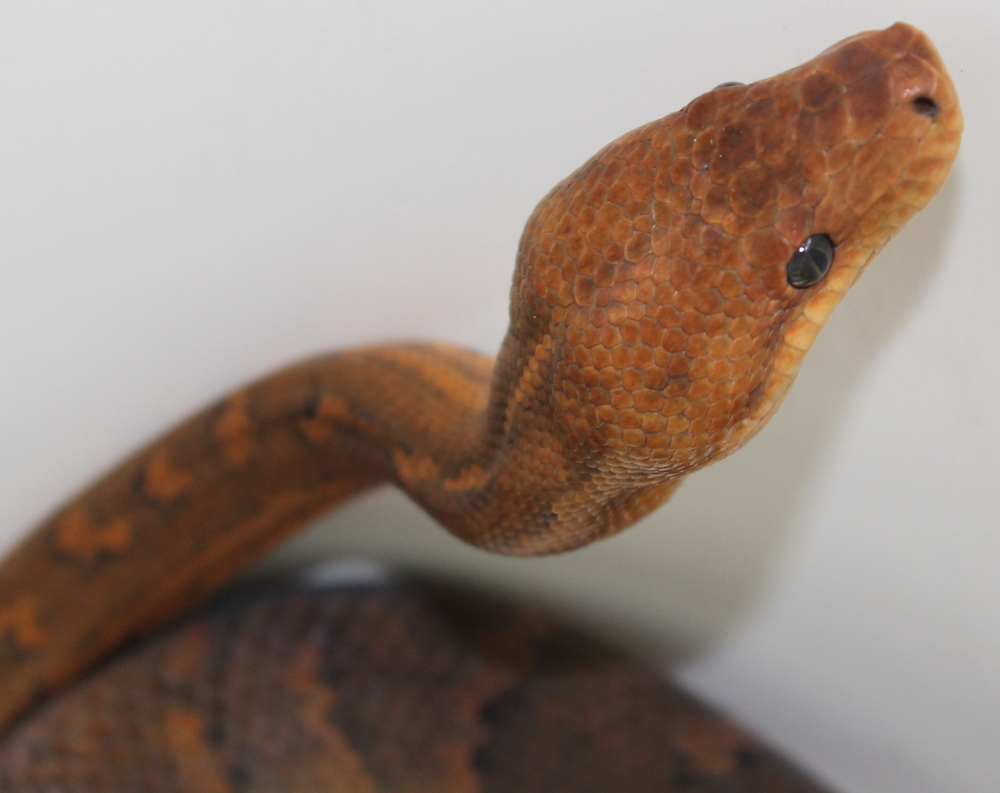 "Dominican Red Mountain Boa ""Ruby"""