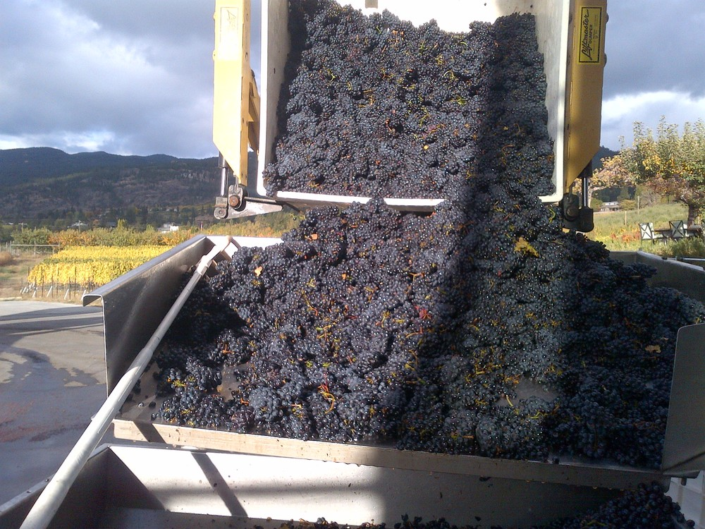 Beautiful Pinot Noir unloading into the de-stemmer.