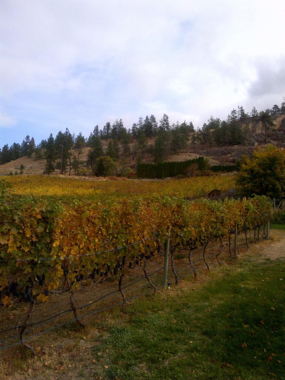 Foxtrot's estate Pinot Noir vineyard