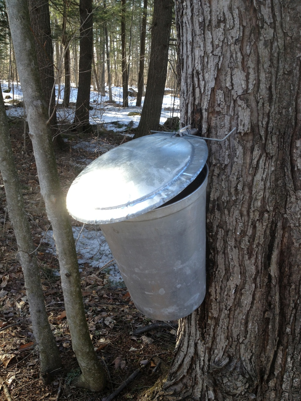 Buckets collecting sap at Mariposa Farm