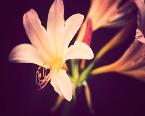 surprise lily_web.jpg