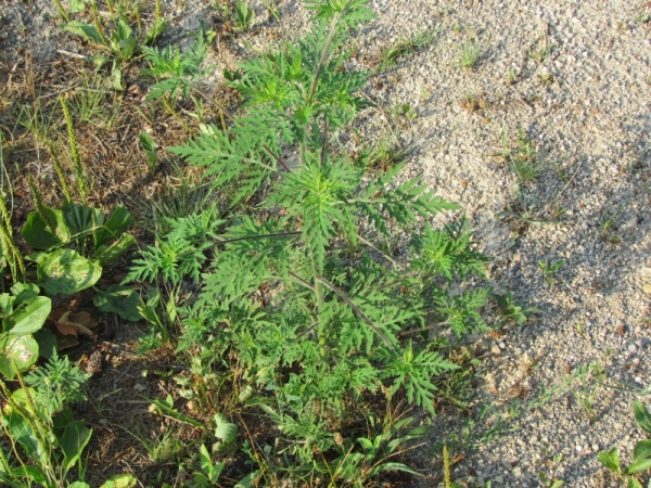 Lesser Ragweed - What we're all sneezing over:) Pretty boring looking plant that causes a quite a bit of misery.:)