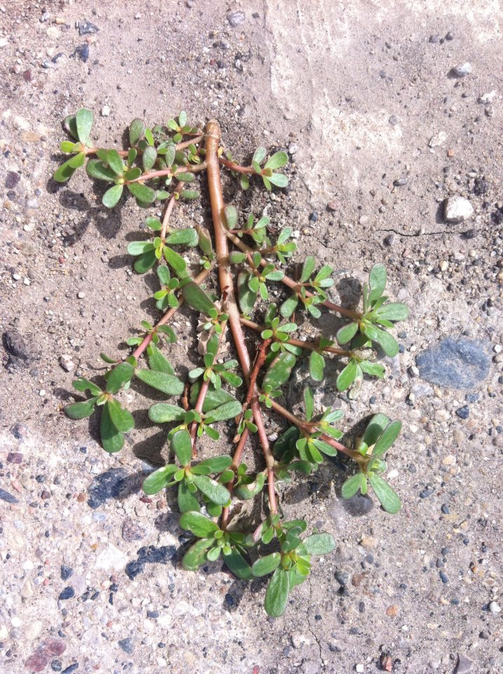 Purslane. It's a weed - but a very nutritious and plentiful one!