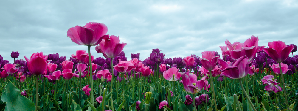 A panorama crop from a low angle at the top of a row of tulips.