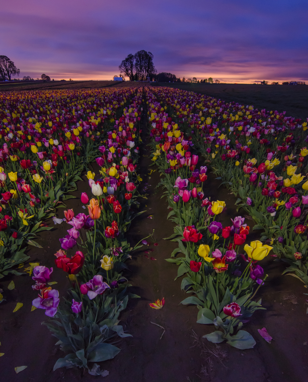 A shot before sunrise looking down some rows of various colored tulips.