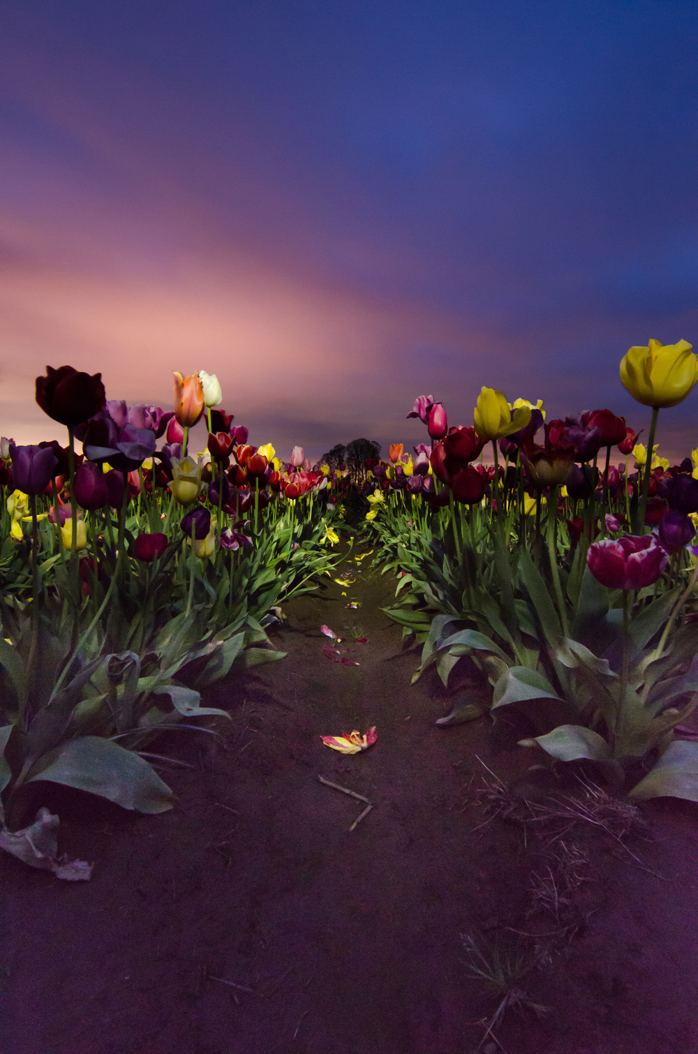 A second shot before sunrise from a ground level perspective looking between two rows of tulips. Some Light painting was used via a flashlight to help lightup the flowers.