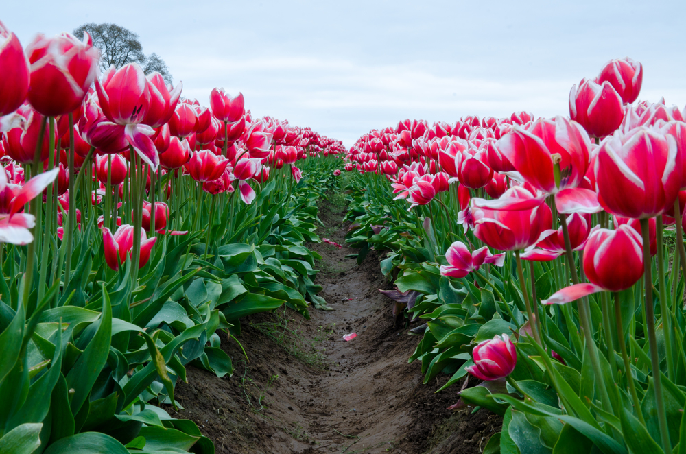 Look from down low between two rows of red/white tulips.