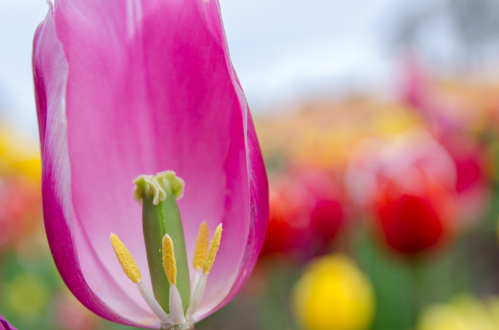A closer shot of a pink tulip missing a pedal allowing a great view into the middle of it.
