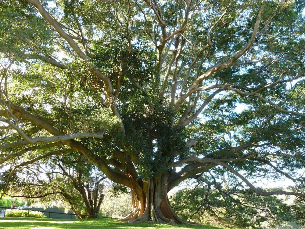 Beautiful, grand tree in the Royal Botanic Gardens