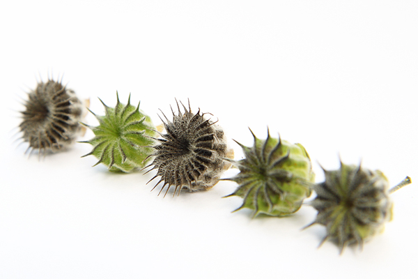green and brown seed pods copyshop.jpg