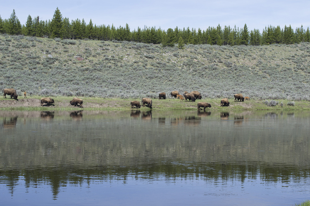 A herd of Bison near the water's edge.