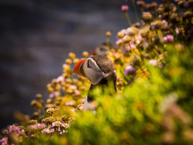 Puffin nests on the Saltee Islands. Photo by Jesse Riggle.