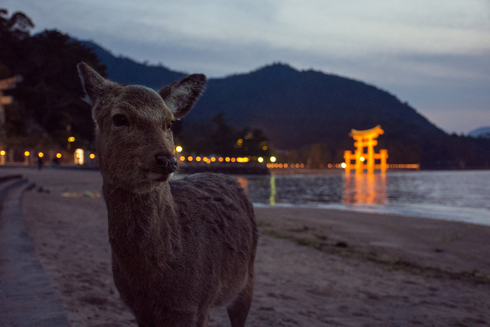 Friendly deer in front of the torii on Miyajima