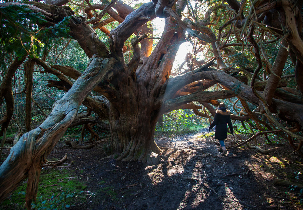 Wander through ancient Yews in the forests of Kingley Vale and learn about the history, science, and myth behind the forest foliage used for centuries for medicine, ritual, and culture.