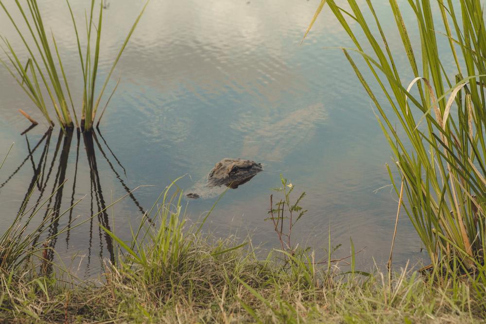 Savannah Wildlife Refuge....where we saw 6 alligators! We even saw a baby!