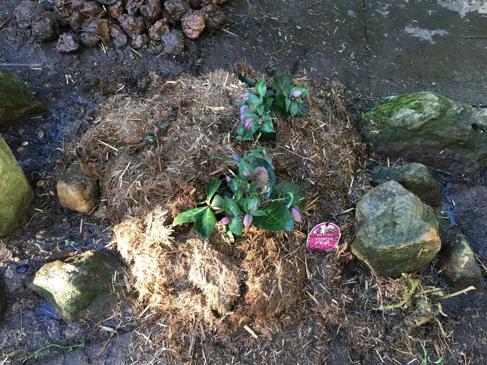 Planted some hellebores