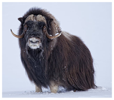 Musk Ox.png