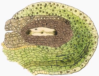 pyłek i zalążek.jpg