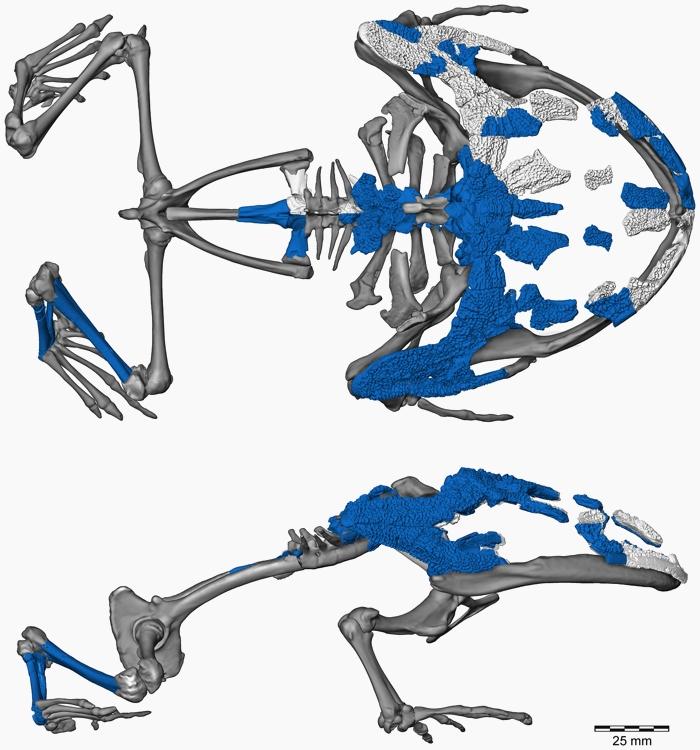 Badane kości zaznaczono na niebiesko. Na biało zaznaczono użyte do rekonstrukcji kości innych okazów Beelzebufo. Szare fragmenty rekonstrukcji wymodelowane na spokrewnionym gatunku Ceratophrys aurita.Ilustracja z:Evans SE, Groenke JR, Jones MEH, Turner AH, Krause DW (2014) New Material of Beelzebufo, a Hyperossified Frog (Amphibia: Anura) from the Late Cretaceous of Madagascar. PLoS ONE 9(1): e87236. doi:10.1371/journal.pone.0087236